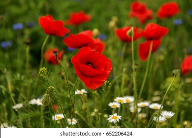 Flowers Red poppies blossom on wild field. Beautiful field red poppies with selective focus.  Natural drugs. Glade of red poppies. Lonely poppy. Soft focus blur