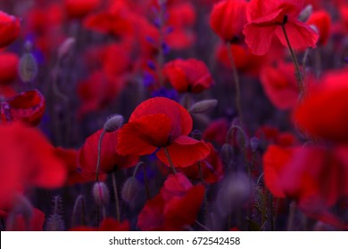 Flowers Red poppies blossom on wild field. Beautiful field red poppies with selective focus. soft light. Opium poppy.  Toning. Creative processing in dark low key