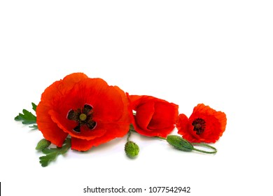 Flowers red poppies and buds (Papaver rhoeas, common names: corn poppy, corn rose, field poppy, red weed) on a white background with space for text.