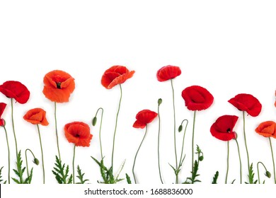 Flowers red poppies ( corn poppy, corn rose, field poppy ) on a white background with space for text. Top view, flat lay