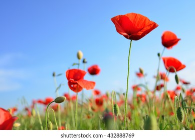 flowers red poppies. flower field. blue sky. Close-up of a flower. background