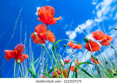 The flowers of the red poppies in the green grass on meadow. Blue sky with cumulus clouds. Magic summertime in the small dept of field landscape. Concept theme: Nature. Climate. Ecology.