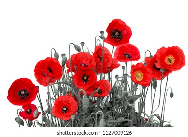 Flowers red poppies ( Papaver rhoeas, common names: corn poppy, corn rose, field poppy, red weed, coquelicot ) on a white background