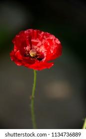 FLOWERS: Red poppy against a dark background