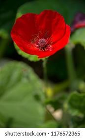 FLOWERS - red poppyes