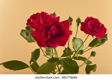 flowers red rose on a beige background close-up