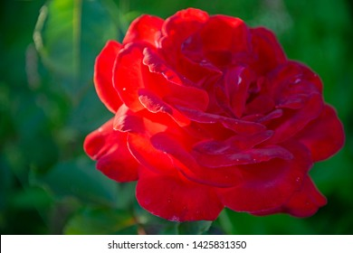 FLOWERS - red rose on green