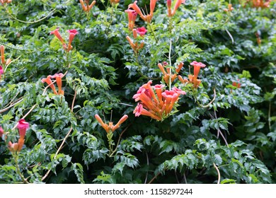 Flowers of red Trumpet Wine or Campsis radicans on the wall