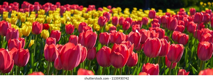 Flowers red tulips flowering on  background of flowers yellow tulips in tulips field.