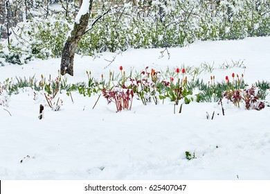 Flowers of red tulips in the snow in spring