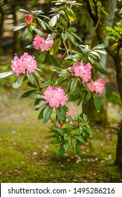 Flowers of Rhododendron - shallow focus