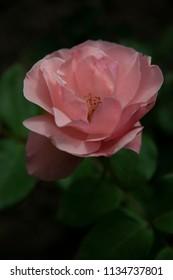 FLOWERS: Rose against a dark background