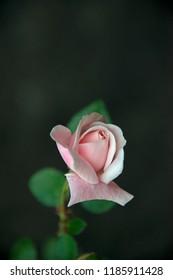 FLOWERS - rose on black