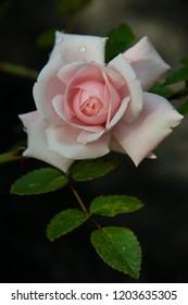 FLOWERS: rose on black