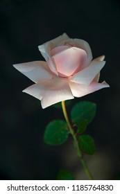 FLOWERS - rose on black background