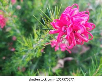 Flowers of rosemary grevillea, Grevillea rosmarinifolia, ornamental shrub