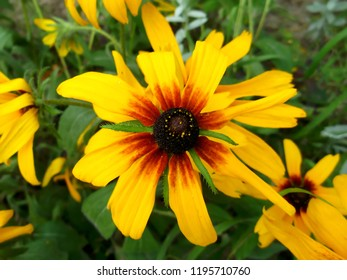 The flowers are rudbeckia. Gardening and floriculture.