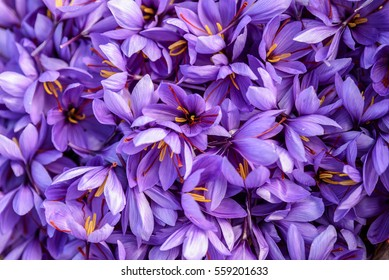 Flowers of saffron after collection