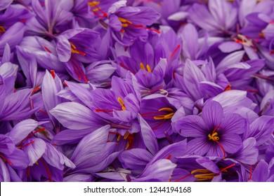 """Flowers of saffron after collection. Crocus sativus, commonly known as the """"saffron crocus"""""""