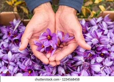"Flowers of saffron collection. Crocus sativus, commonly known as the ""saffron crocus"" harvest."