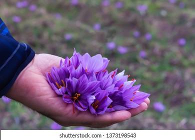 """Flowers of saffron collection. Crocus sativus, commonly known as the """"saffron crocus"""" harvest"""