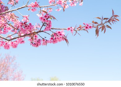flowers Sakura spring pink blossoms under a pure blue spring sky
