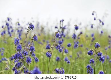 Flowers of Salvia nutans ( Nodding Sage ), Russia.