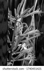 Flowers of Sansevieria trifasciata, (Snake Plant, Saint George's sword, mother-in-law's tongue, or viper's bowstring hem) with clear droplets of sap. Easy to grow house plant.