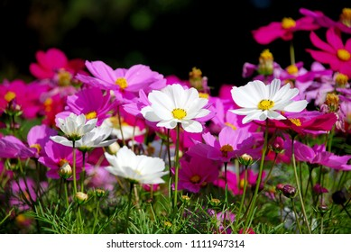 Flowers scenic blooming of Violet Sulfur Cosmos and White Sulfur Cosmos on sulfur cosmos field