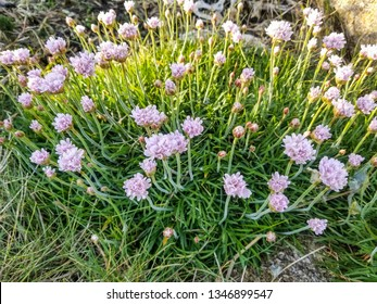 Flowers of sea thrift, pinkor or grass to love, Armeria maritima growing on the coasts of Galicia, Spain