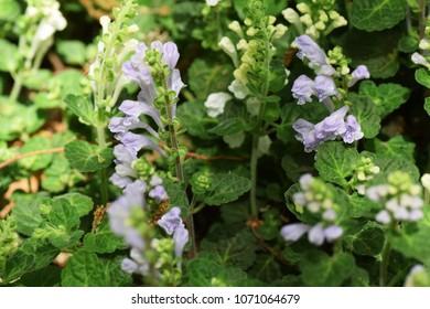 """Flowers see in the spring meadow """"Skullcap"""""""