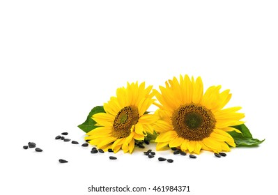 Flowers and seed of sunflower on white background with space for text