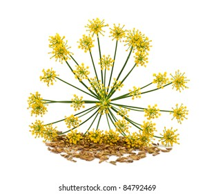 Flowers and seeds of wild fennel