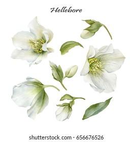 Flowers set of watercolor hellebore and leaves