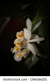 Flowers of Shining Coelogyne Orchid, Assam, India