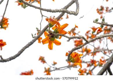 flowers of Silk cotton tree