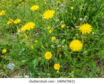 Flowers of Slender sowthistle, Sonchus tenerrimus, growing in Galicia, Spain