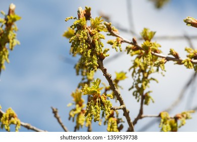 Flowers and small leaves of an oak at the beginning of spring