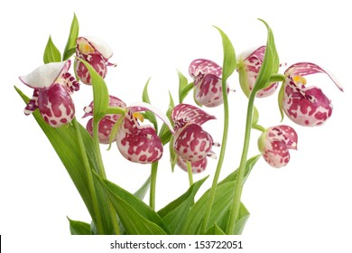 Flowers of the Spotted Lady's Slipper (Cypripedium guttatum) isolated on a white background
