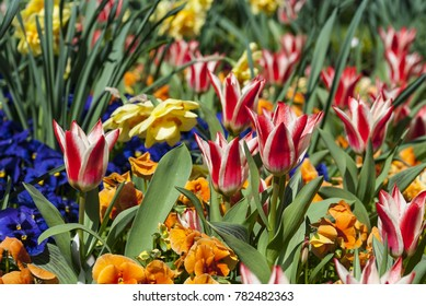 Flowers in springtime and summer (tulip)