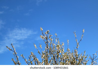 Flowers starting to blossom on the tree. Bright blue sky in the background.
