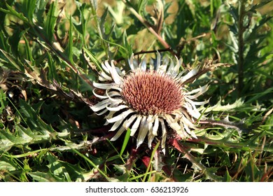Flowers of Stemless Carline Thistle (Carlina acaulis). It is also known as Dwarf carline thistle, Silver thistle, Hunter's bread, Pane degli Alpini