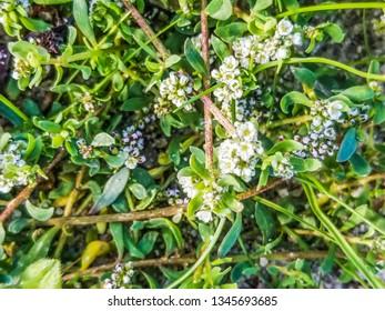 Flowers of strapwort or pasacaminos, Corrigiola litoralis, growing in Galicia, Spain