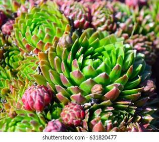 flowers suculent