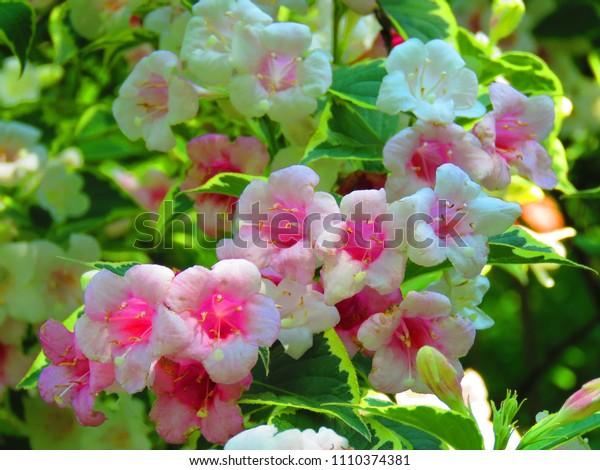 flowers of summer jasmine, Jasminum officinale,