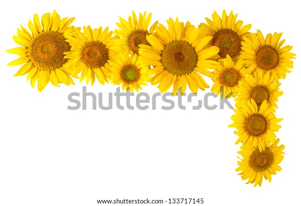 Flowers sunflower isolated on white background, element for design