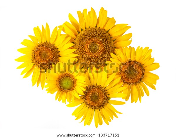 Flowers sunflower isolated on white background