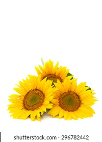 Flowers sunflower on white background