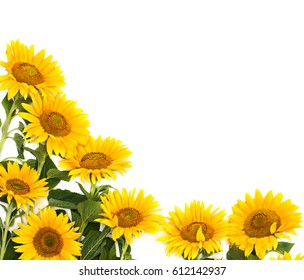 Flowers sunflower on a white background with space for text. Top view, flat lay