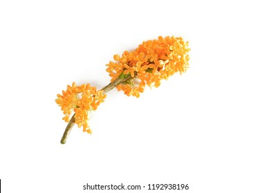 flowers of Sweet Osmanthus on a white background